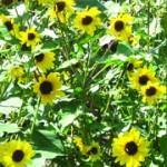 LLV-sunflowers