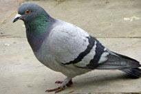 pigeon-01