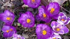 purple fleurs